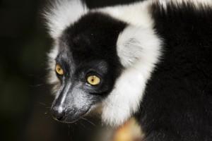 Madagascar, Lemurs