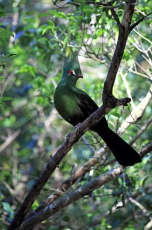 Lowrie Bird Native in Knysna Region SA