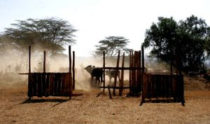 Cattle and Dust