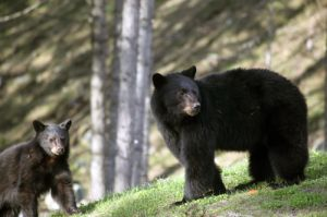 Bear And Cub At Whistler BC