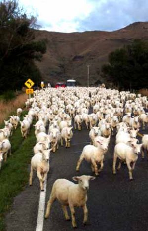 Sheep Traffic in the South Island