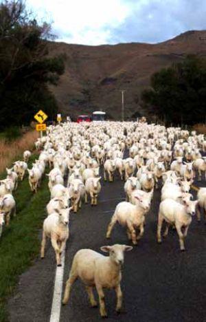 Sheep Traffic in NZ