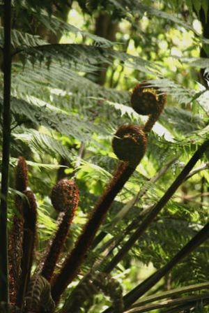 The Koru or New Palm Frond Symbolises New Life