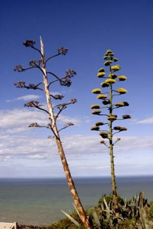 Flax Plants