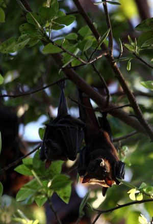 Red Flying Fox
