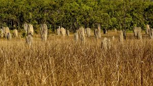 Magnetic Termite Mounds Litchfield NP