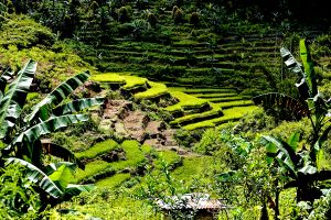 Rice Fields  Flores