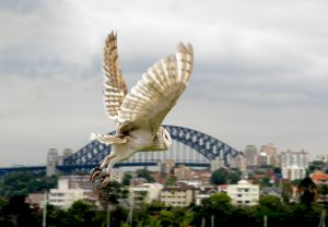 White Owl Over Sydney