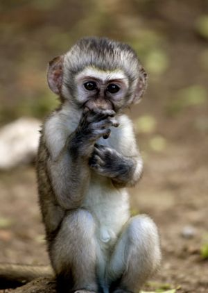 Very Young Vervet Monkey