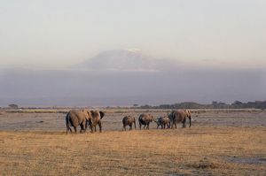 Elephants at Kilamanjaro