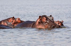 Hippo Family in Lake Naivaisha  Kenya.