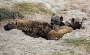 Hyena Pups Outside Their Den in Amboselli