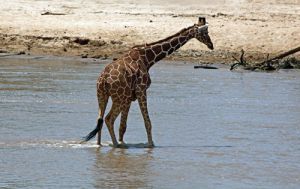 Reticulated Giraffe Crossing a River