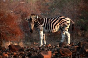 Burchill Zebra at Sunset in  Kruger Game Res