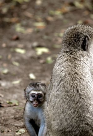 Vervet Monkey And Infant Kenya