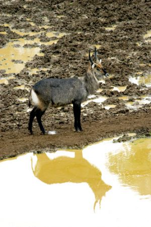 Waterbuck at Mt Kenya
