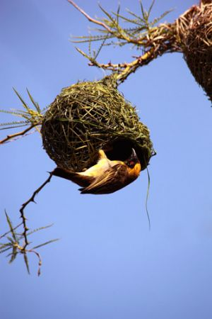 Weaver Bird And Nest
