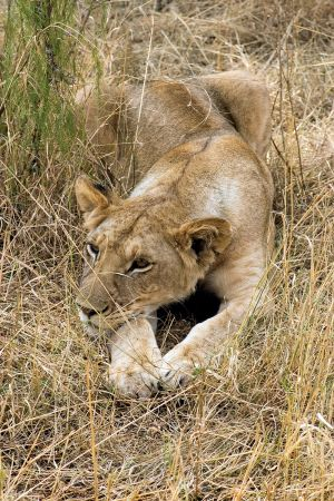 Young Lion in the grasses  Kruger Game Reserve SA