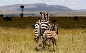 Zebra And Foal at Masai Mara in Kenya