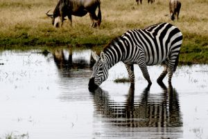 Zebra Drinking at WaterholANe