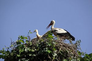Stork Youngster Stretching its Wings.On top of a Plane Tree