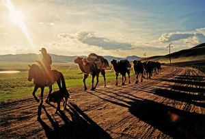 Camel Train in Central Mongolia in the Dust