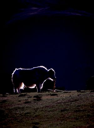 A Yak Bathed in a Ring of Evening Light