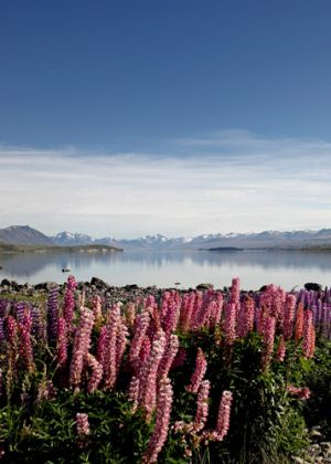 Portrait of Lake Tekapo Lupins