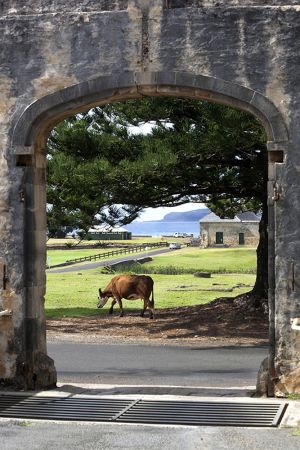 Cows From Commissariat Doorway