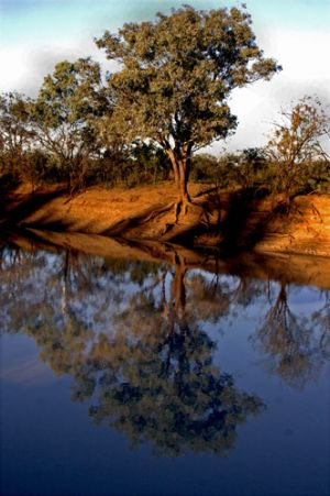 Coolibah Tree Thompson River  Longreach