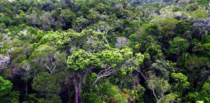 World Heritage Tropical Rainforest Canopy.jpg