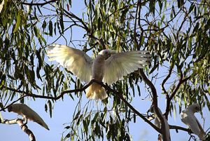 Corellas In Gum Trees