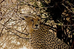 Cheetah Hiding In The Grasses