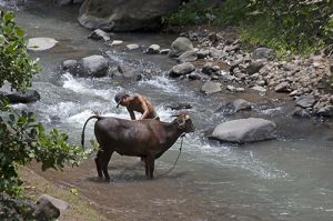 Farmer Washing His Cow in the River
