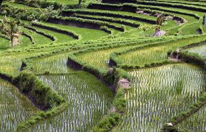 Iseh Rice Terraces