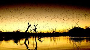 Ord River Flying Foxes AT Sunset