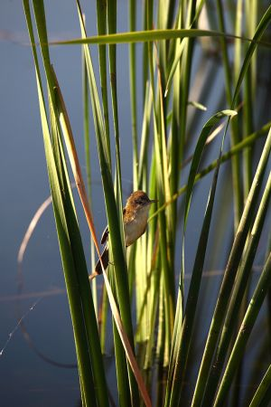 Reed Finch Lake Kununurra