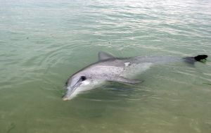 Wild Dolphin at Monkey Mia, Shark Bay