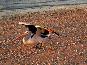 Pelican at  Sunset Monkey Mia