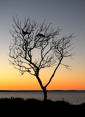 Sunset Tree Monkey Mia Shark Bay