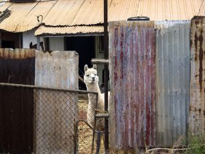 Alpaccas in a House at Boulder Near Kalgoorlie