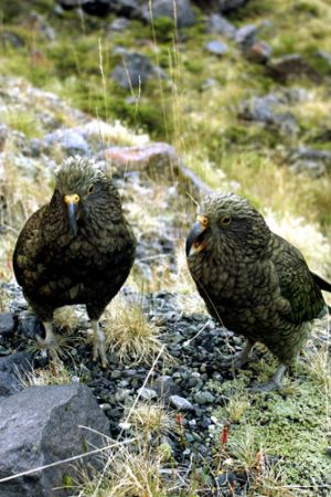 Alpine Parrots, Keas West Coast  NZ