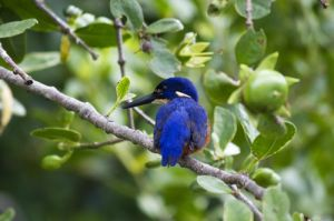 Azure Kingfisher  Daintree FNQ