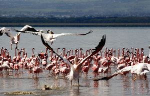 Birdlife on Lake Nakuru Kenya