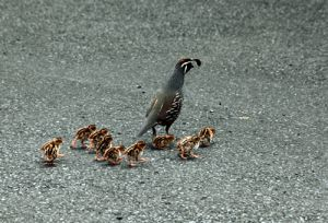 Californian Quail And Young