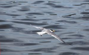 Crested Tern in Flight Camp Cove Sydney