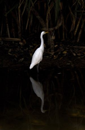 Egret Reflection Kakadu