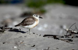 Endangered NZ Dotterel Chicks Whangamata NZ