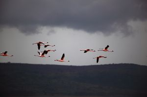 Flamingos Flying Over Lake Nakuru