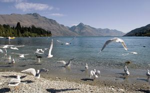 Queenstown Gulls Lake Wakitipu NZ